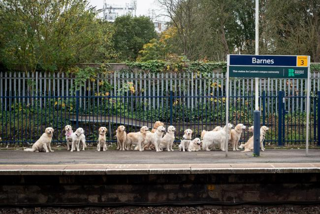 Barnes commuters given paws for thought when they spotted a dozen golden retrievers lining up for a train