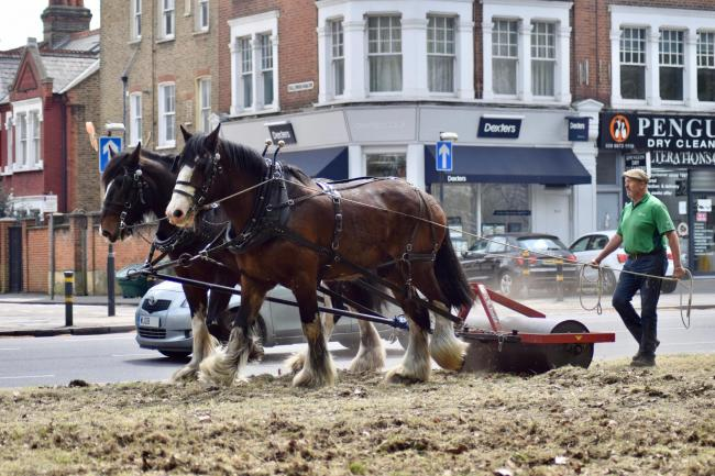 Meet London's last working herd of Shires that mow grass around Richmond. Picture: SWNS