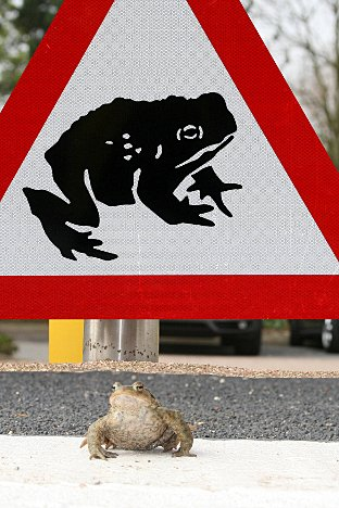 Abbey Toad: Toads crossing forces Ham road closures