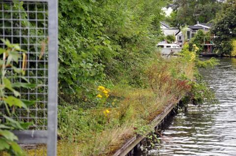 Overgrown: The towpath opposite Trowlock Island