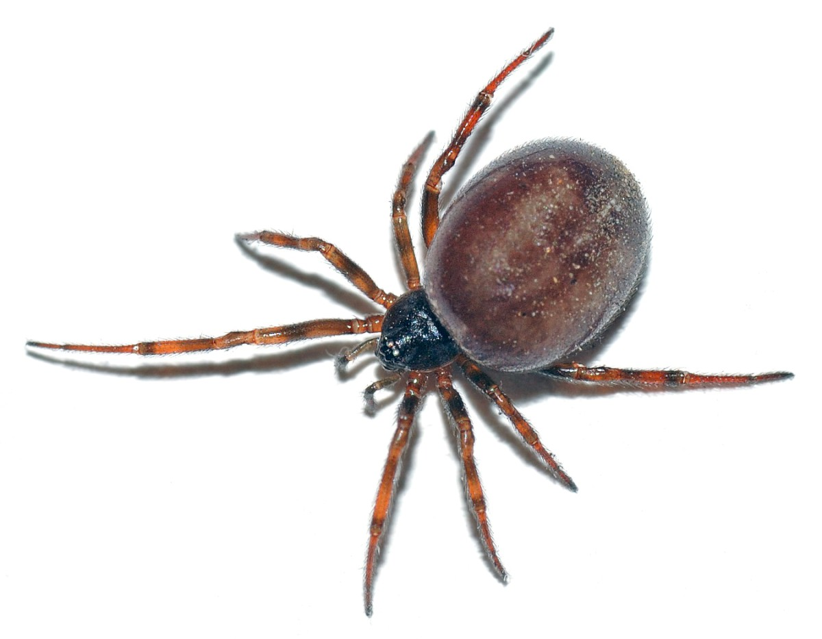 Spider expert Greg Hitchcock said that false widows are being battered by the press