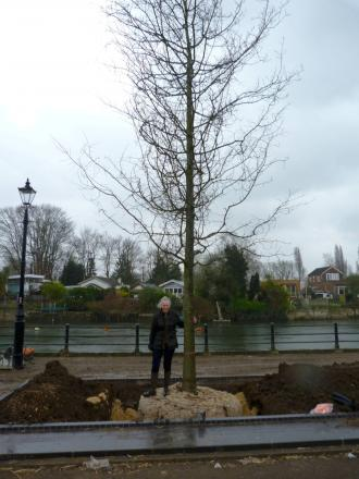 Trees: Twickenham Riverside