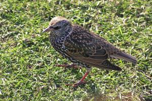 Nature Notes: Understated starling