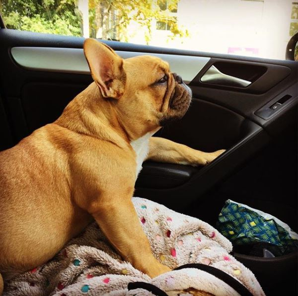 Winston the charismatic French Bulldog, missing from Richmond