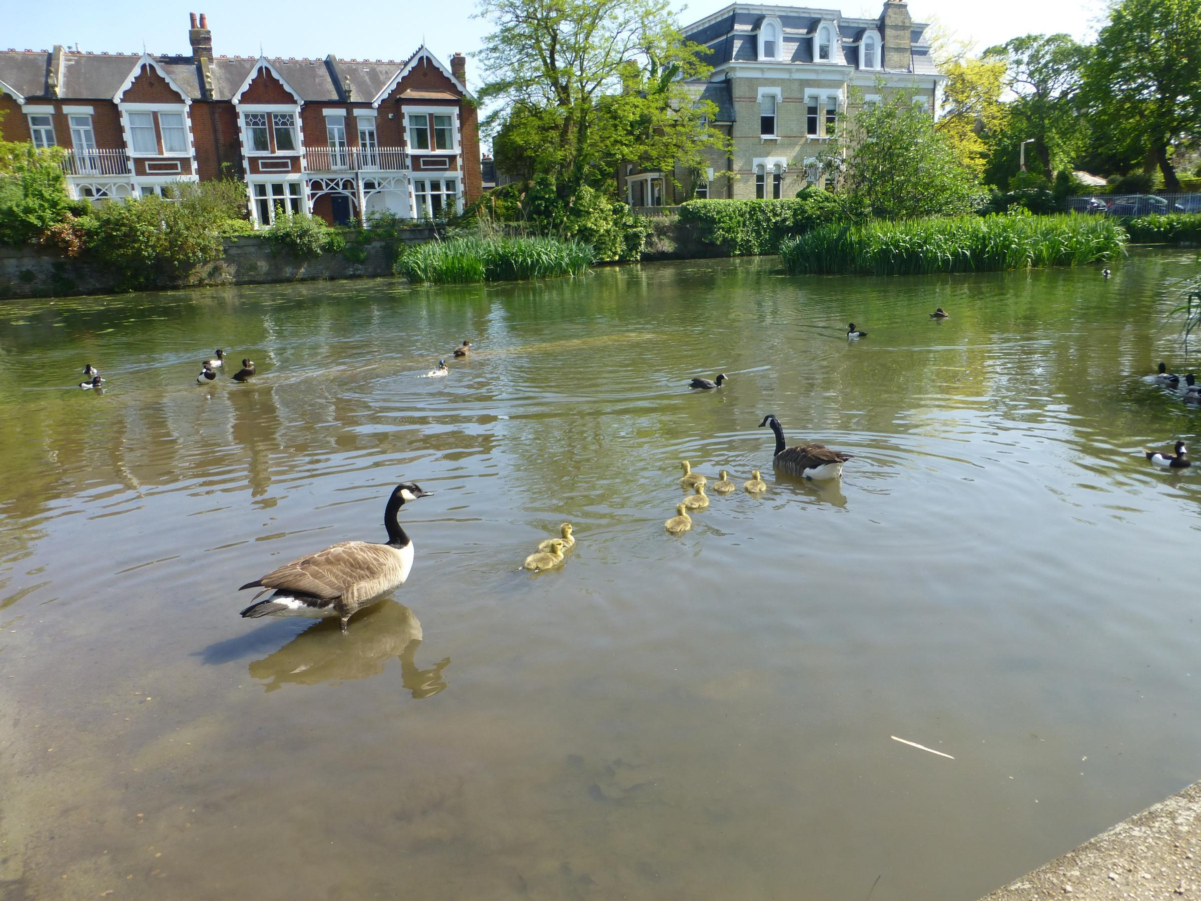 Canada geese with goslings in Kew Green pond. Photo: Richard Ward.